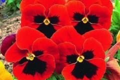 hoa viola do