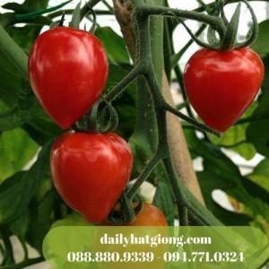 Cà chua dâu tây f1 chuẩn bị thu hoạch