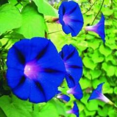 hoa-bìm-bip