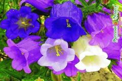 hoa chuong