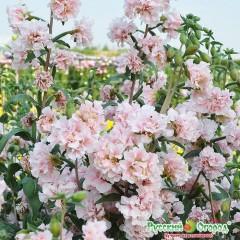 hoa-sakura1