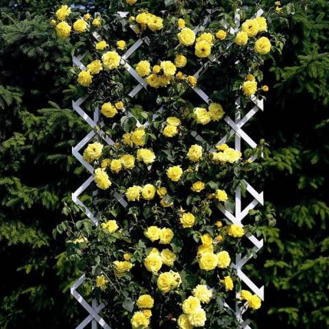 Cây Giống Hoa Hồng Leo Vàng