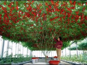 Cà chua cho trái rất nhiều