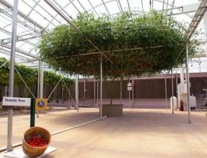 Cà chua cây được trồng thủy canh