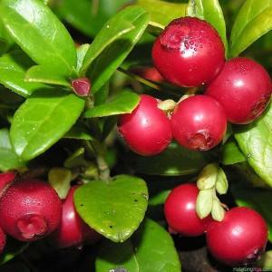 Việt quất đỏ có lá nhỏ, xanh đậm. mịn, hình elip