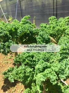 cải Kale xoăn xanh