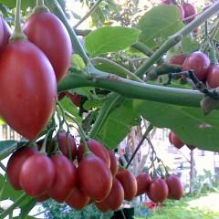 Cây cà chua thân gỗ TAMARILLO (MAGIC S) đang cho thu hoạch